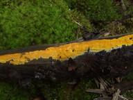 Phlebia subochracea