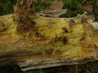 Piloderma croceum