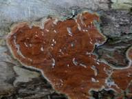 Byssomerulius albostramineus