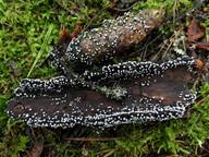 Didymium melanospermum