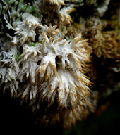 Basidioradulum radula