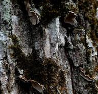 Aleurodiscus disciformis