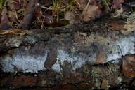 Erythricium laetum