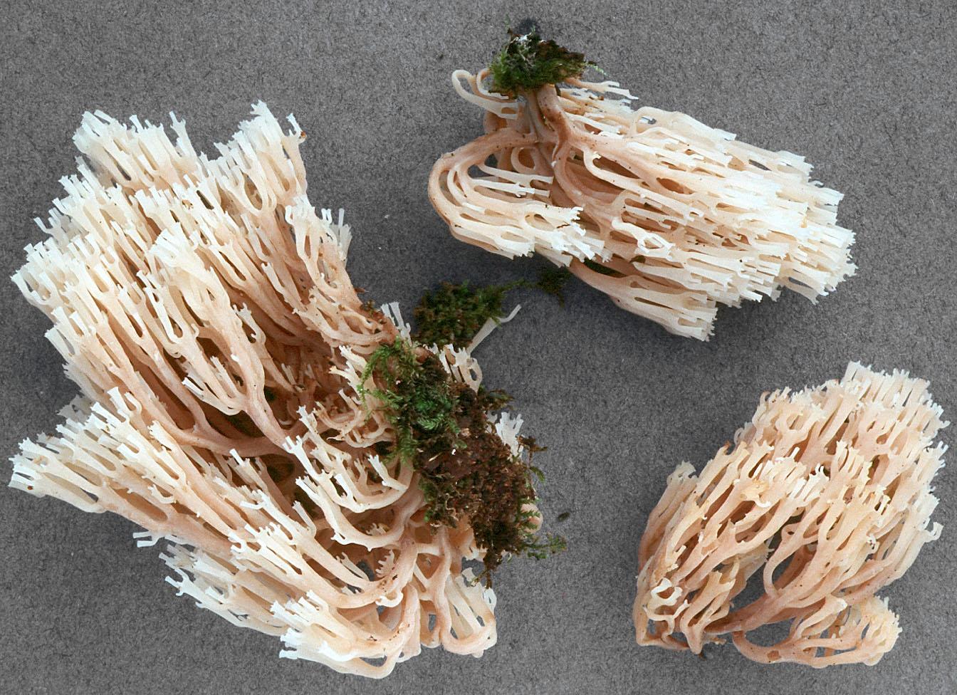 Artomyces pyxidatus