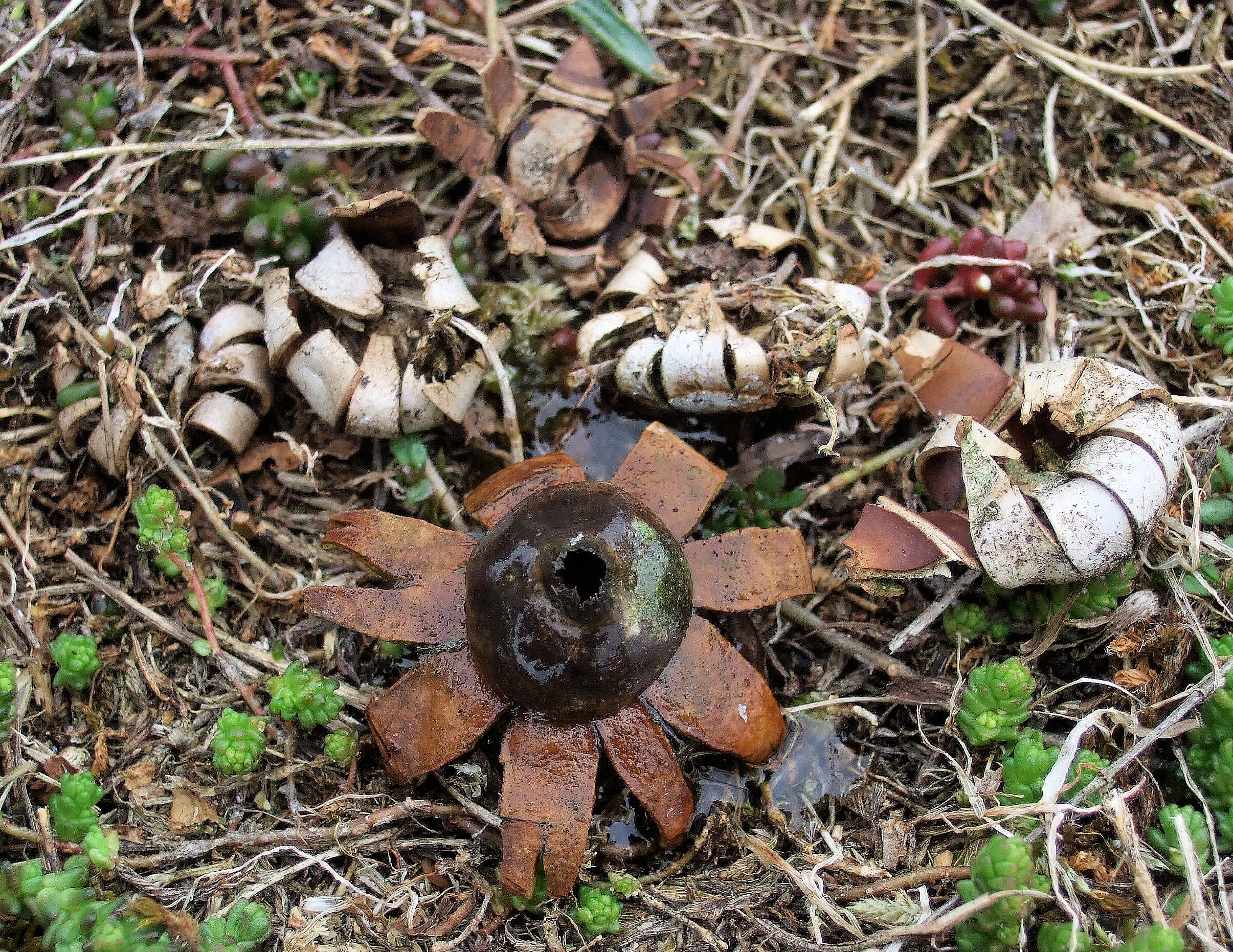 Geastrum corollinum
