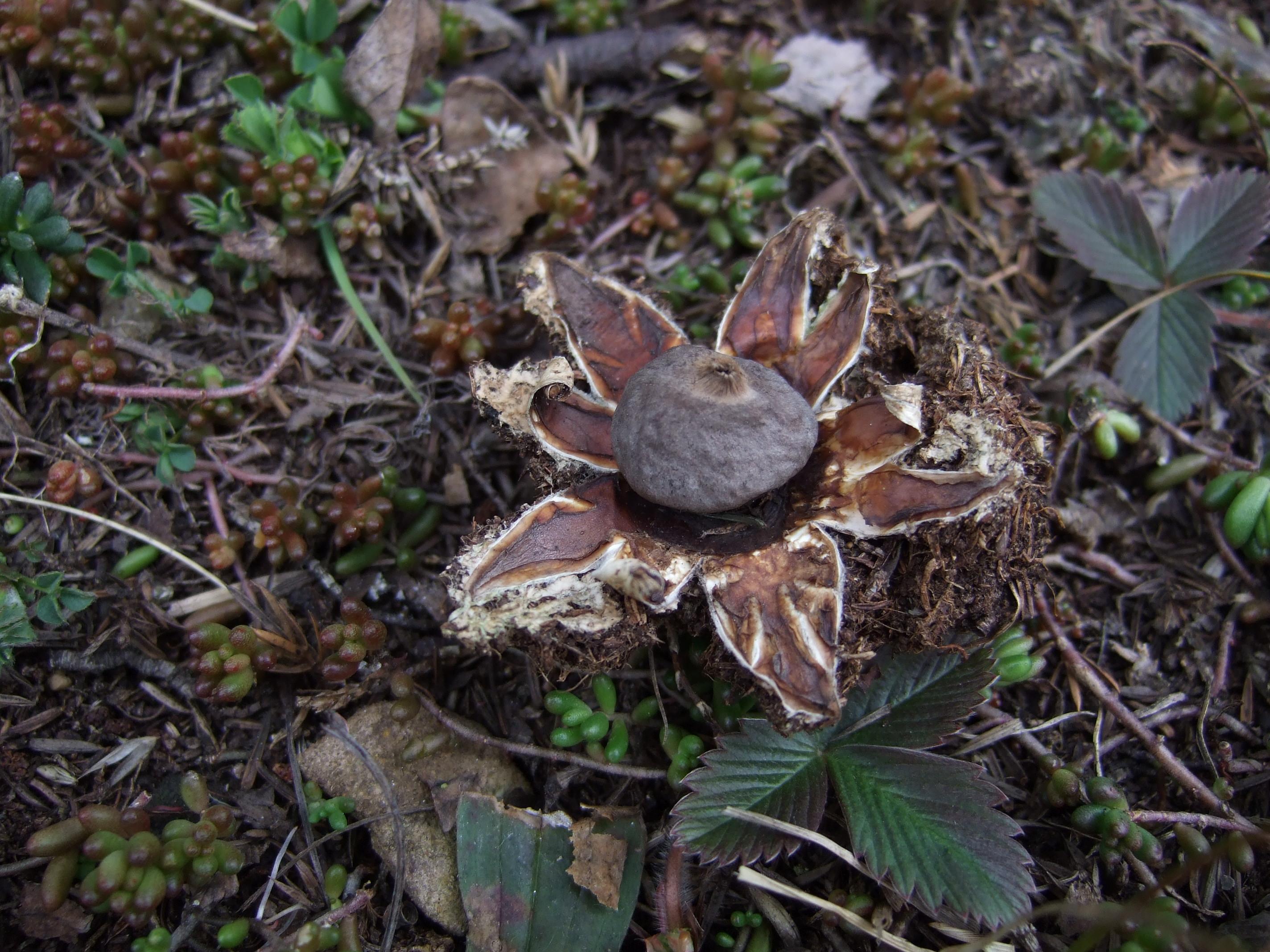 Geastrum coronatum