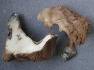 Sarcodon glaucopus