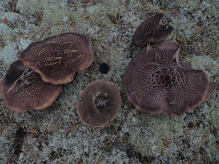Sarcodon squamosus