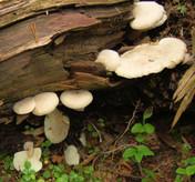 Ossicaulis lignatilis
