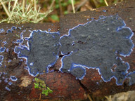 Terana caerulea