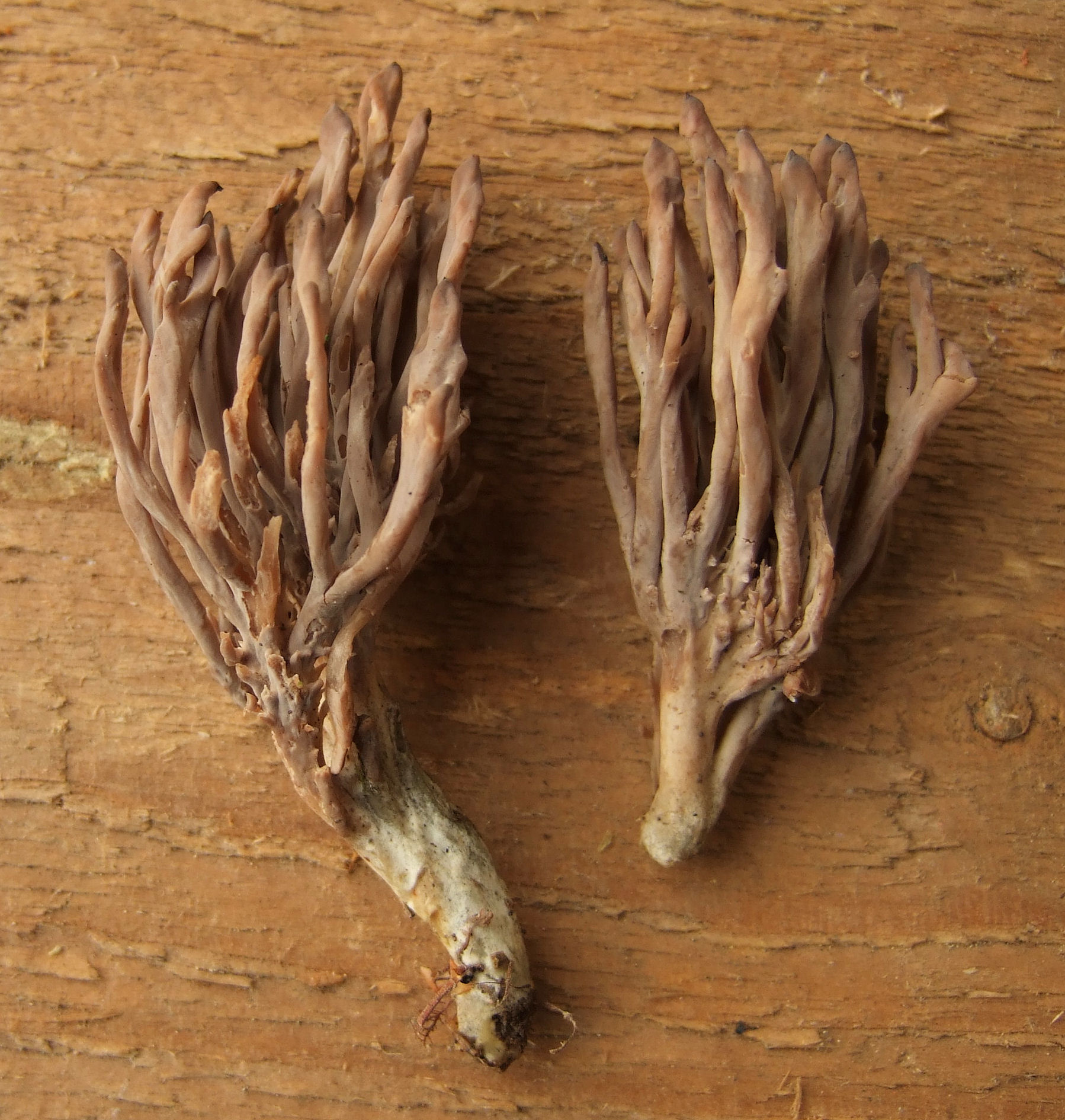 Clavulinopsis umbrinella