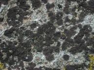Acarospora molybdina