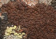 Acarospora veronensis
