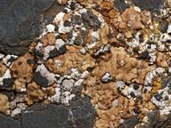 Acarospora scabrida