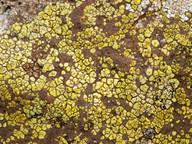 Acarospora heufleriana