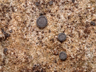 Acarospora glaucocarpa