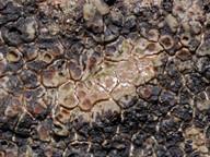 Acarospora macrospora