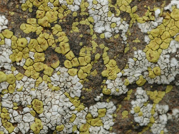 Acarospora sulphurata