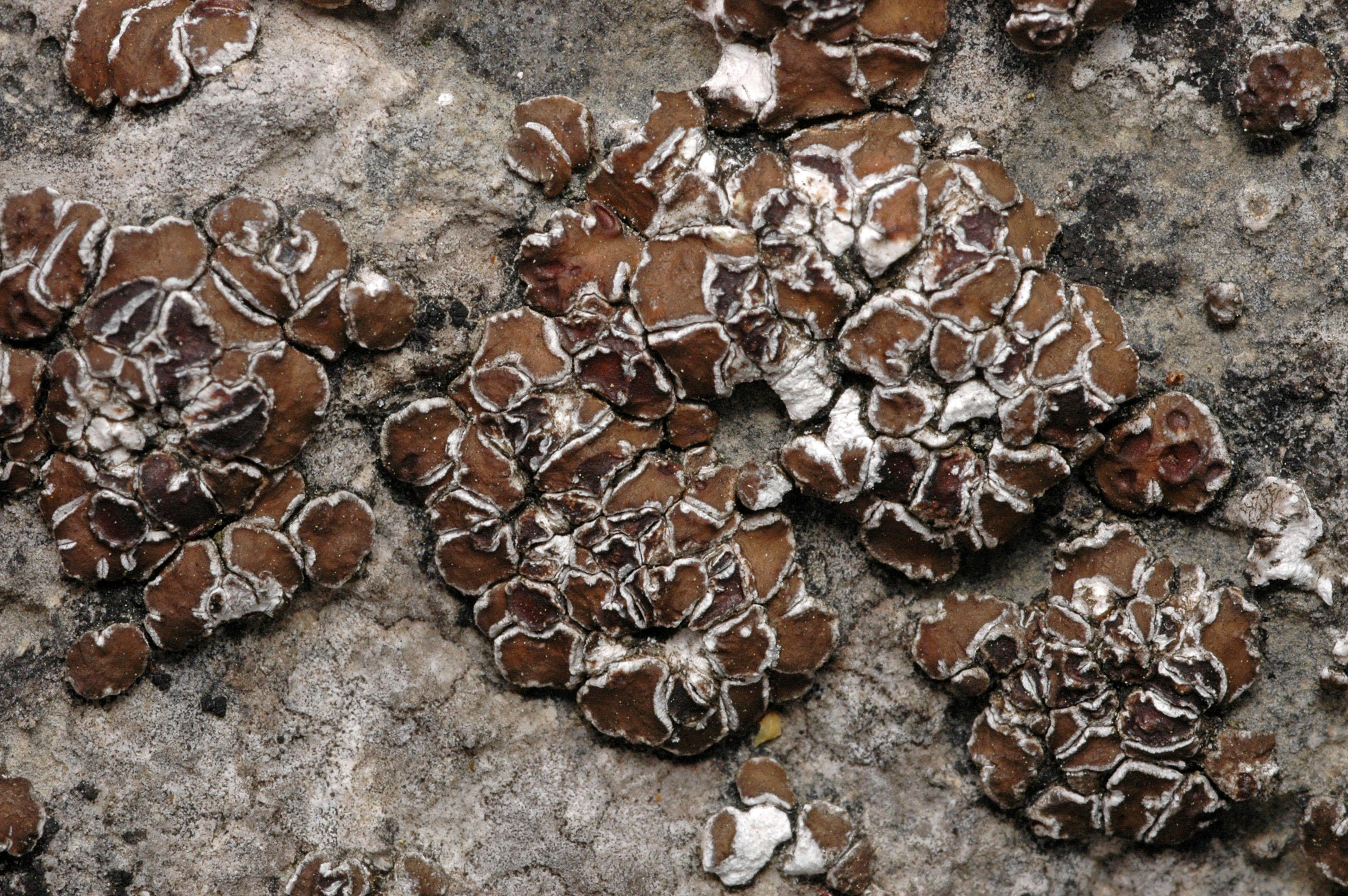 Acarospora cervina