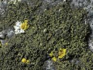 Amandinea cacuminum