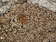 Amygdalaria panaeola