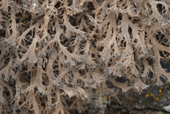 Anaptychia ciliaris