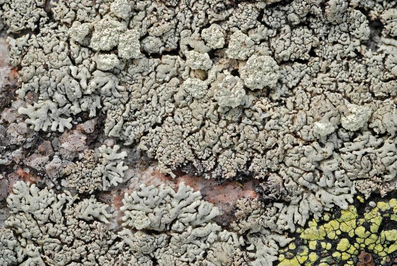 Arctoparmelia incurva