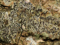 Arthonia ruana