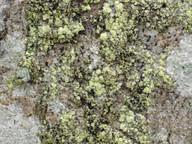 Arthonia biatoricola