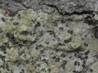 Arthonia leucopellaea