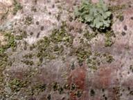 Arthonia punctiformis