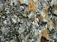Arthrosporum populorum