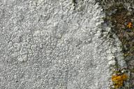 Aspicilia calcarea