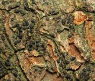 Bacidia friesiana
