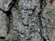 Bacidia rosella