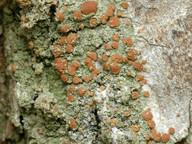 Bacidia rubella
