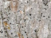 Bactrospora corticola