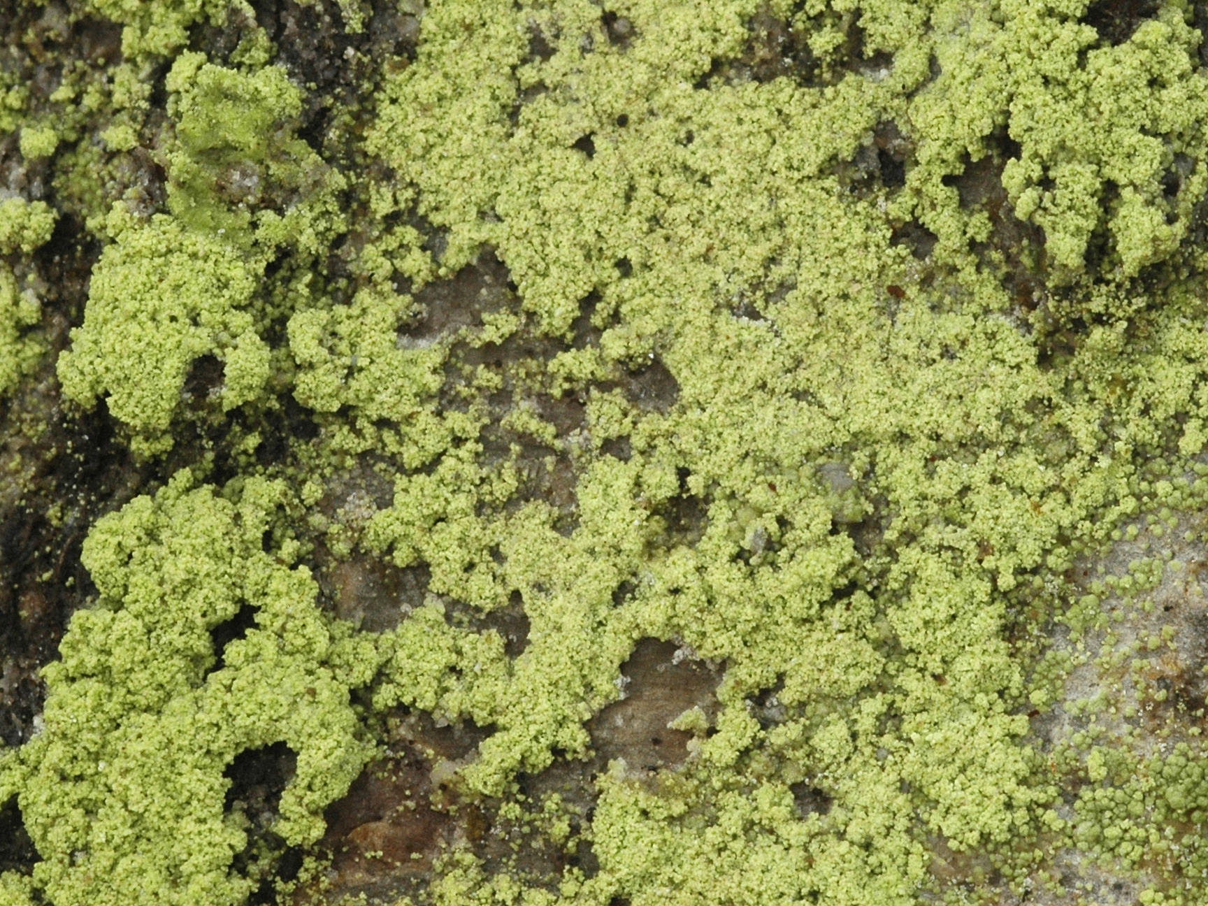 Biatora efflorescens