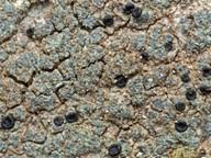 Buellia griseovirens