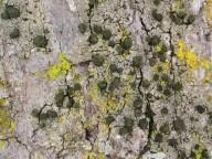 Calicium adspersum