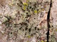 Calicium viride