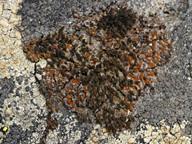 Caloplaca nivalis