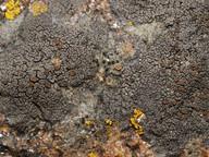 Caloplaca aractina