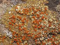Caloplaca flavovirescens