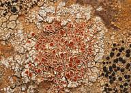 Caloplaca erythrocarpa