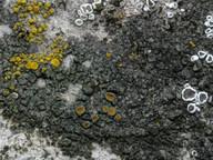 Caloplaca chlorina