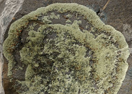 Caloplaca carphinea