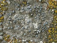 Caloplaca variabilis