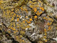 Caloplaca phlogina