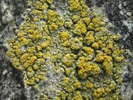 Caloplaca microthallina
